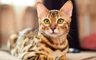 Иммуномодуляторы для кошек: общие сведения и основные препараты