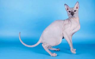Сфинкс: корм для кошек