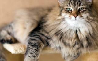 Миозит у кошек: основные сведения о заболевании и способах лечения
