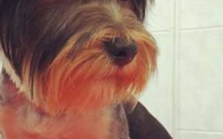 Холестаз у собак: причины, симптомы, лечение