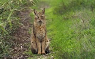 Камышовая порода кошек
