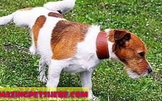 Полиурия — частое мочеиспускание у собак