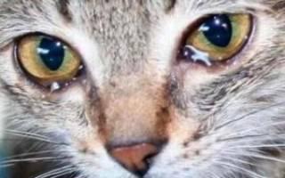 Чем лечить конъюнктивит у кошек?
