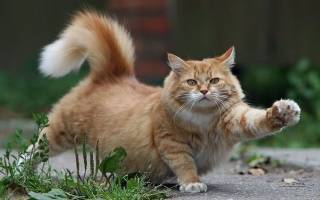 Сколько кот отходит от наркоза после кастрации