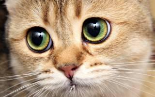 Энцефаломиелит — воспаление головного и спинного мозга у кошек и собак