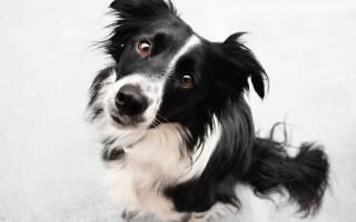 Самые умные породы собак: наш рейтинг ТОП-10