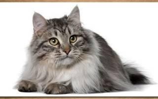 Сибирская кошка дымчатая