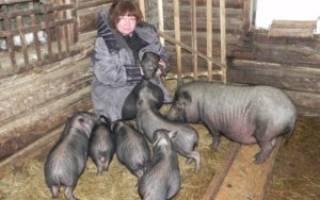 Вислобрюхие свиньи: характеристика