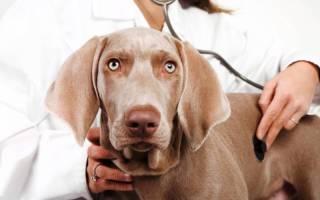 Бронхопневмония – бактериальная инфекция дыхательных путей у собак