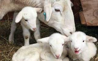 Как правильно ухаживать за шерстью овцы