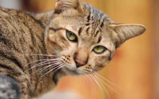 Стафилококк у кошек: от чего возникает и как проявляется