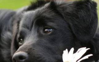 Парвовирусный энтерит у собак: особенности заболевания, диагностика и лечение