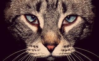 Блефарит у кошек и котов