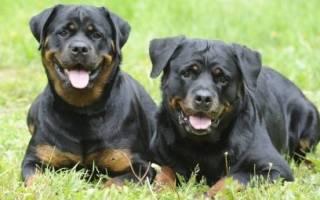 Ротвейлер: размеры взрослой собаки