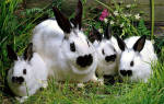 Декоративный кролик- бабочка: разведение и содержание