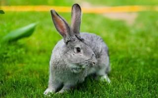 Кролик шиншилла: разведение и содержание
