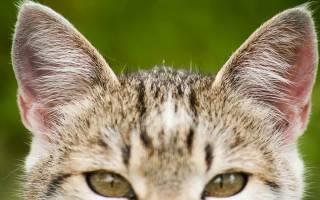 Как лечить уши у кошек