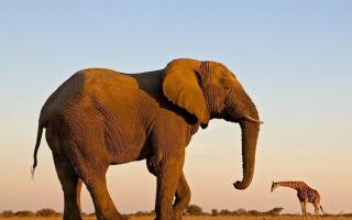 Большой слон: самые крупные в мире животные