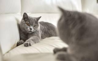 Британская кошка сильно линяет, что делать