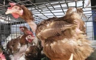 Как вывести пероедов у кур и попугаев