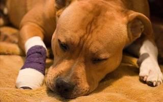 Вывих у собаки: виды, симптомы и первая помощь