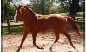 Буденновская лошадь: характеристики и особенности породы