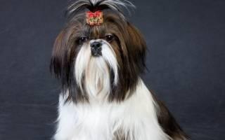 Порода собак ши-тцу