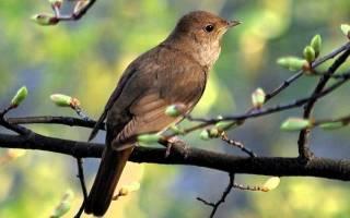Соловей птица