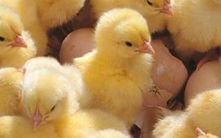 Какой корм для цыплят бройлеров выбрать