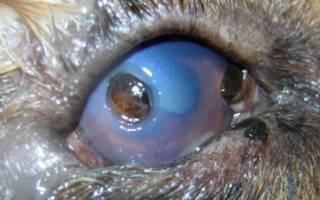 Язва роговицы у кошек: причины, диагностика, лечение