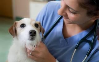 Слабительное для собак при запоре: средства народной и традиционной медицины
