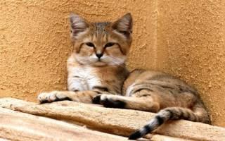 Барханная кошка в домашних условиях