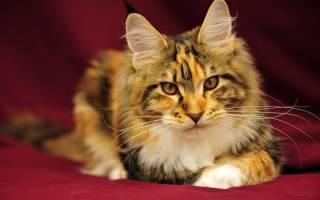Малассезиозный дерматит у кошек: особенности заболевания и необходимая терапия