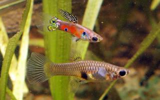 Аквариумные живородящие рыбы