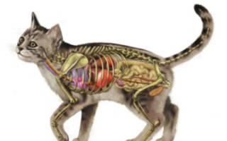 Анатомия кошки: интересные факты