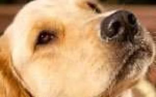 Как предотвратить течку у собаки?