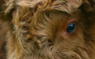 Коровы хайленд и их особенности