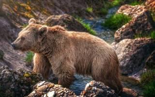 Строение медведя