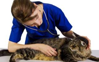 Гастроэнтерит у кошек: причины, диагностика и лечение