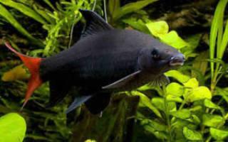 Семейство карповых: аквариумные рыбки