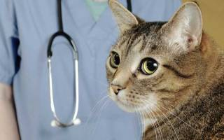 Васкулит у кошек: причины, виды и способы лечения