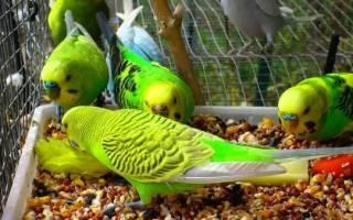 Что нельзя есть волнистым попугаям