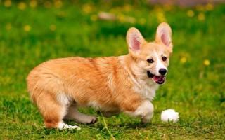 Как называется маленькая собака с большими ушами