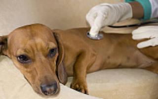 Эндокардиоз митрального клапана у собак: стадии, признаки и лечение