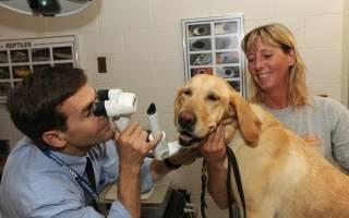 Причины воспаление глаза у собаки и симптомы основных заболеваний