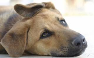 Что делать, если собака отравилась: правила оказания помощи