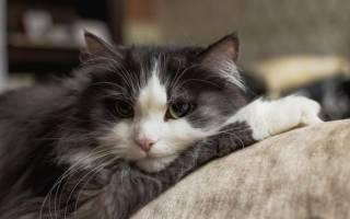 Кастрация кота в 5 лет: показания, противопоказания, техника проведения