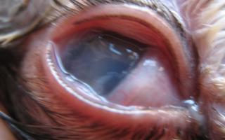 Чем вызваны коричневые выделения у собаки из глаз: причины, лечение, уход