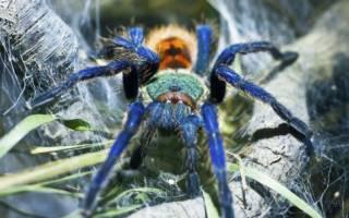 Какие бывают пауки птицееды