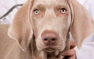 Что можно давать щенку, собаке при поносе: лекарства и диета
